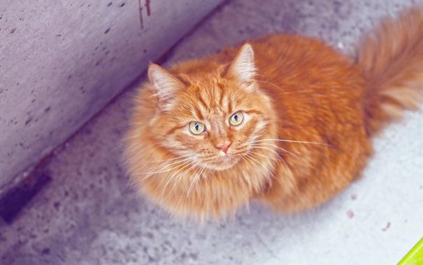 Фото обои кот, взгляд, шерсть, рыжий