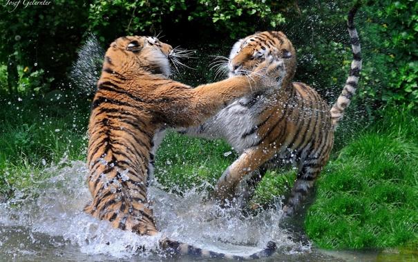 Фото обои брызги, хищники, драка, пара, дикие кошки, тигры, водоем