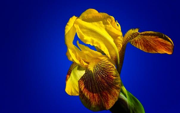 Фото обои ирис, цветок, небо, лепестки, фон