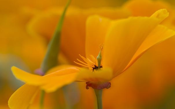 Фото обои цветок, макро, лепестки, эшштольция калифорнийская, желый