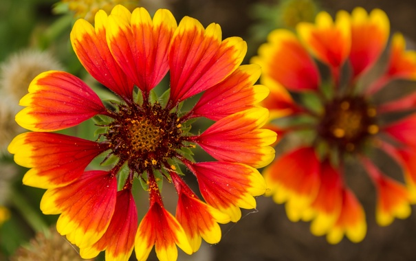 Фото обои цветы, природа, растение, лепестки, сад, луг, гайлардия