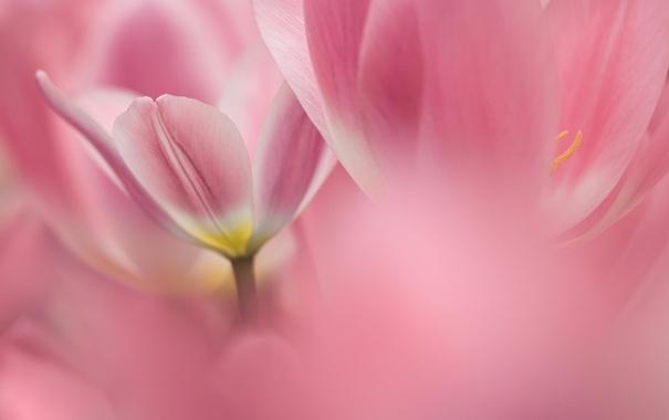 Фото обои макро, цветы, тюльпаны, розовые, Голандия