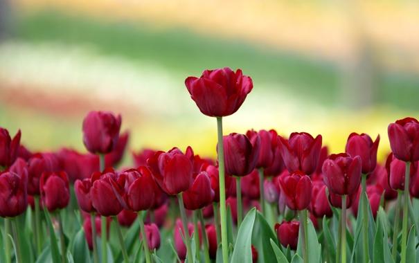 Фото обои цветы, фон, тюльпаны, розмытость