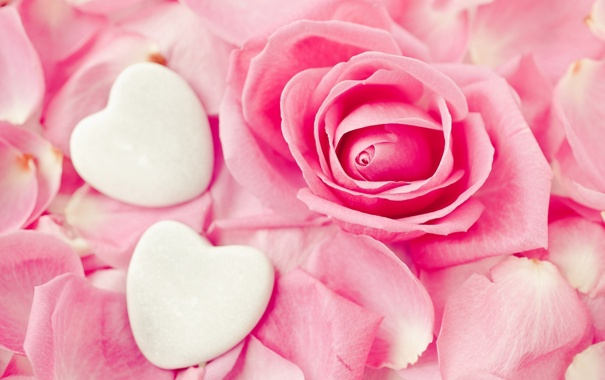 Фото обои цветок, розовый, роза, сердца, лепестки, бутон, сердечки