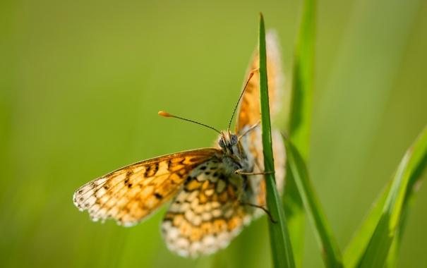 Фото обои природа, фон, бабочка, цвет
