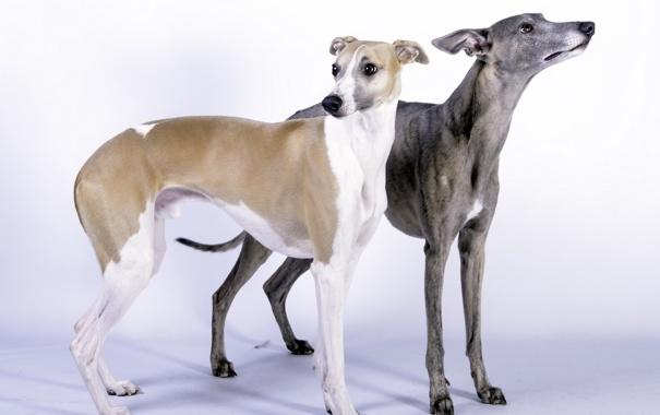 Фото обои собаки, фон, Whippet