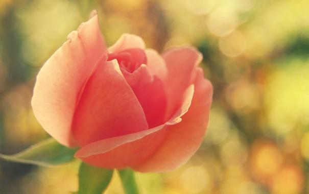Фото обои цветок, макро, розовая, роза, размытие