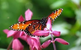 Обои бабочка, Цветы, блики, розовые