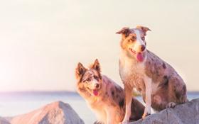 Обои собаки, фон, друзья