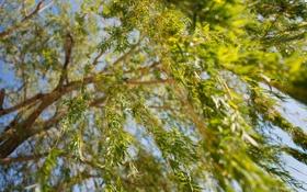 Обои зелень, ветки, природа, дерево, листва, размытость, ива