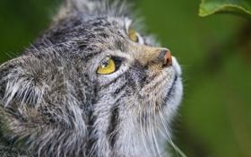 Обои кошка, взгляд, морда, манул, ©Tambako The Jaguar