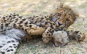 Обои гепард, кошка, детёныш, ©tambako the jaguar