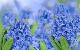 Обои капли, цветы, вода, гиацинты, голубые