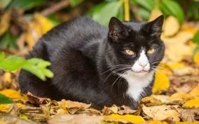 Картинка осень, кошка, кот, листья, листва