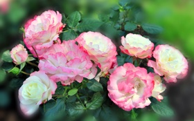 Картинка фото, Цветы, Розы, Крупным планом