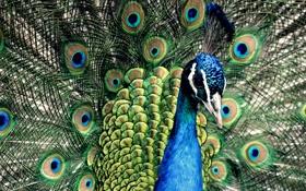 Картинка синий, перья, павлин