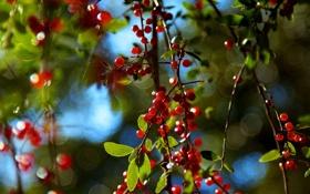 Обои Листья, Зелень, Дерево, Макро, Ягоды, Природа, Ветки