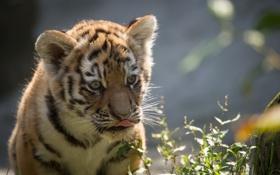 Обои язык, морда, детёныш, котёнок, амурский, тигр, кошка