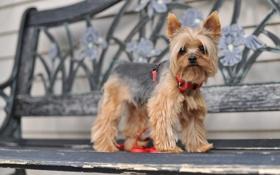 Картинка собака, скамья, Yorkshire Terrier