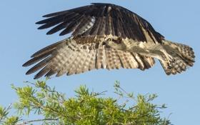 Картинка небо, птица, полет, зелень, дерево, крылья, ястреб