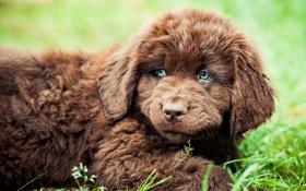 Картинка мохнатый, щенок, лежит, ньюфаундленд
