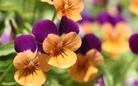 Обои цветы, анютины глазки, садовые цветы