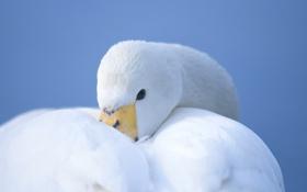 Обои птица, лебедь, белый