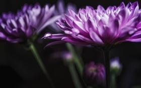 Обои макро, цветы, фон, лепестки, хризантемы