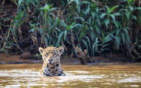 Обои кошка, река, ягуар, Бразилия, Пантанал, Куяба
