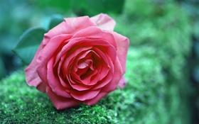 Обои роза, цветок, природа
