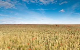 Картинка поле, небо, облака, цветы, ветер, маки, колоски