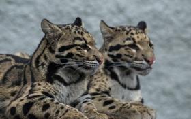 Обои взгляд, хищник, окрас, дикая кошка, дымчатый леопард
