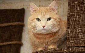 Обои кот, рыжий кот, кошкин дом