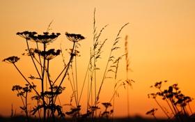 Обои цветок, небо, закат, растение, силуэт