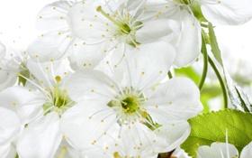 Картинка макро, цветы, вишня, красота, весна, лепестки, сакура