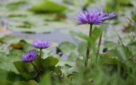 Картинка пейзаж, озеро, красота, листики, водяные кувшинки