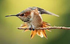 Картинка птица, ветка, колибри, оперение