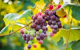 Картинка листья, еда, фрукт, виноград, гроздь