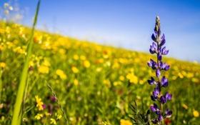 Картинка фиолетовый, цветы, желтый, природа, фото, лаванда, боке
