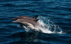 Обои брызги, прыжок, дельфины, море, пара