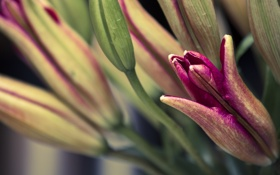 Картинка листья, цветы, лилии