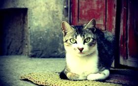 Обои кот, глаза, нос, шерсть, фото, цвет, обои