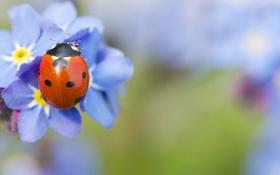 Обои насекомое, божья коровка, незабудки, макро, голубые