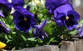 Обои фиолетовые, виола, анютины глазки, доски, солнечно