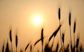 Обои пшеница, солнце, природа, рожь, колосья, силуэты, злаки