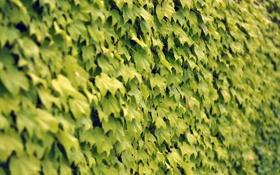 Картинка листья, стена, клён