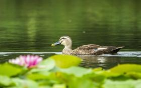 Картинка озеро, водяные лилии, утка