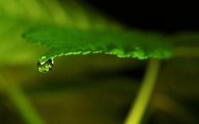 Картинка зелень, вода, макро, лист, фон, прозрачная, капелька