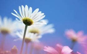 Обои обои цветы, ромашка обои, ромашковое поле, поле, небо