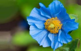Картинка цветок, макро, синий, пыльца